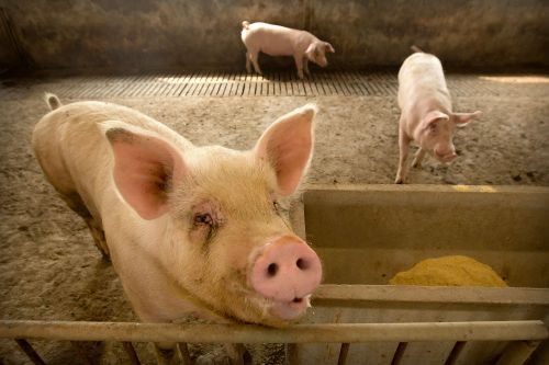 Global pork prices rise amid China's pig disease outbreak