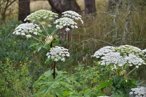An invasive weed that can cause severe burns, blisters, scars, and blindness is spreading - here's what you should know about giant hogweed