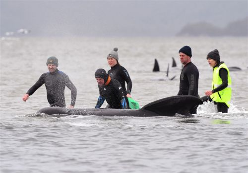 Almost 500 pilot whales stranded on Australian island state