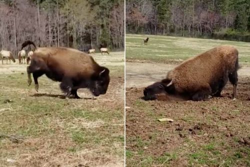 800-pound bison celebrates first day of spring with happy dance
