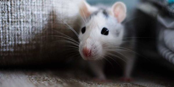 How to get rid of mice -and keep them away for good
