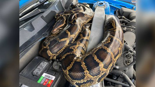 SEE IT: 10-foot python found under hood of Ford Mustang in Florida