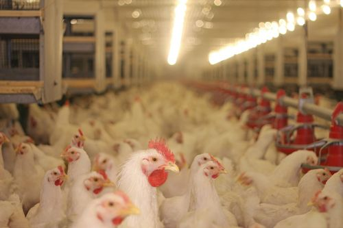 Poultry plant investigated after workers fall sick with rare disease