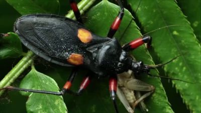 'Kissing bugs' are more dangerous than we think, say scientists