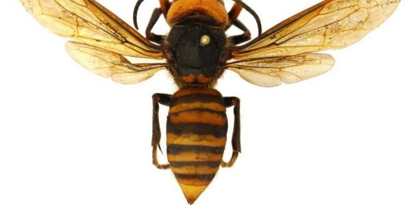 A 'murder hornet' has been trapped for the first time in Washington after several confirmed sightings