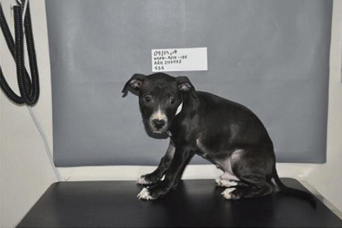 Puppies, pit bulls rescued from brutal dog-fighting ring