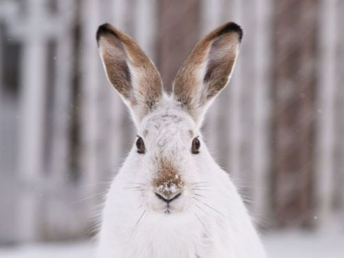 Adorable snowshoe hares found to routinely feast on their own dead: study