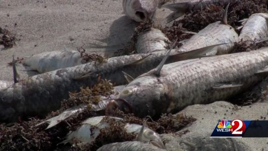 No traces of red tide found in Brevard County, officials say