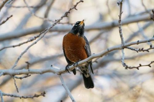 Nature & You: Is it already spring? Don't let the robin fool you