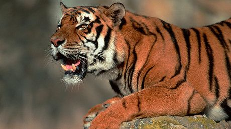 Escaped tiger briefly puts Paris on lockdown, killed by Circus staff 2km from Eiffel Tower