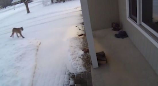 ​Security video shows large cougar approaching Wisconsin home