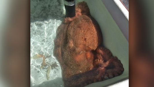 California fish market buys big octopus, returns it to ocean