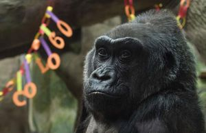 Your daily 6: Free: Chelsea Manning; RIP: Colo the gorilla; on stage: Fifth Harmony