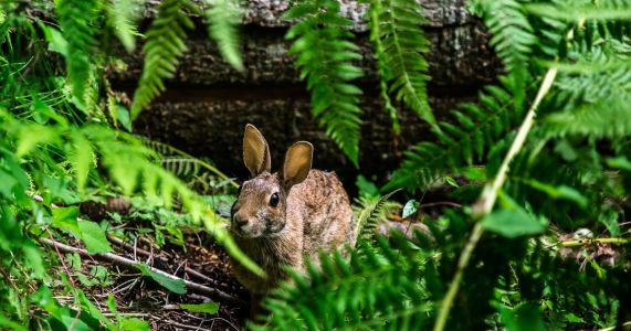 Notice a bunny boom? Here are some reasons for the Seattle area's recent rise in rabbits