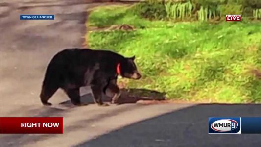 Tagging data shows bear spared by governor traveled thousands of miles