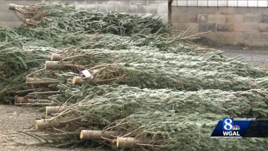 Fewer Christmas trees = higher prices