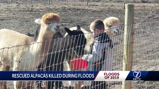 Valley family loses rescued alpacas to flooding