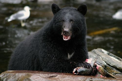 Human-bear conflicts on the rise in Alaska