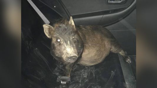 Police shocked man's tale of being stalked by pig turns out to be true