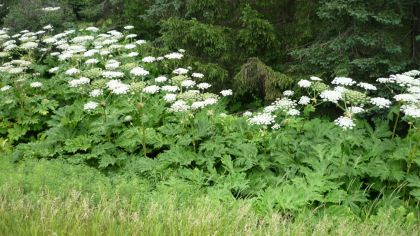 Toxic Plant That Can Cause Blindness Found In Pennsylvania