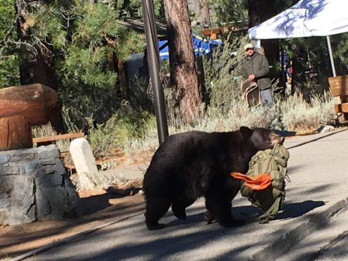 USFS: Tahoe bears are getting too comfortable with humans