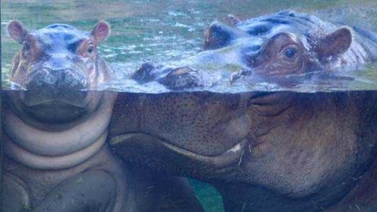 With zoo closed, Fiona the hippo misses her loyal subjects