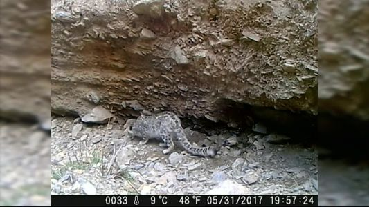 Animal Stories with Dan Green: snow leopard