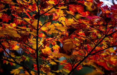 Soak up the fall warmth of the Daniel J. Hinkley Asian Maple collection at Washington Park Arboretum