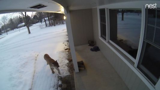 Security video shows cougar peering into Brookfield home