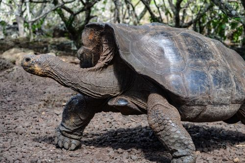 Woman's 100-pound tortoise goes missing in New Mexico