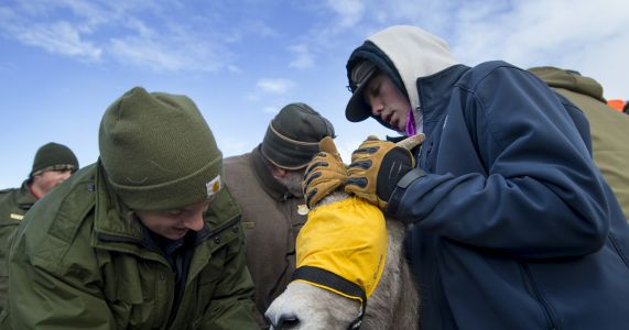 Powell high schoolers help with bighorn sheep relocation