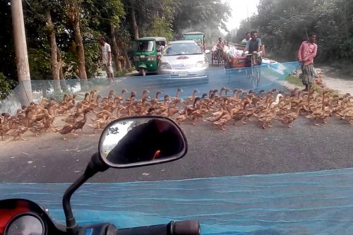 How many adorable ducks can you count crossing this street?