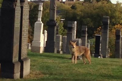 Woman haunted by eerie cemetery coyote