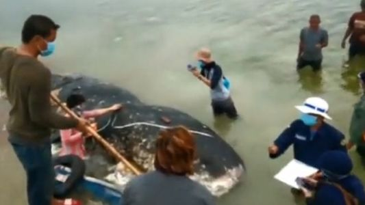 'Truly awful': Dead whale swallows 115 plastic cups, plastic bottles, sandals