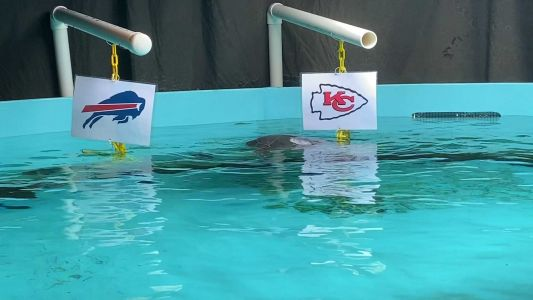 'True Chiefs fans': Kansas City's sea turtles pick Chiefs to beat Bills in AFC championship game