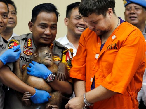 A Russian man was arrested after trying to smuggle a drugged orangutan, 5 lizards, and 2 geckos out of Indonesia in his luggage