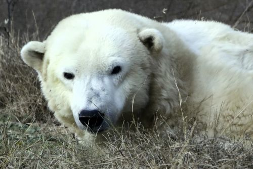 Oldest polar bear in US captivity dies
