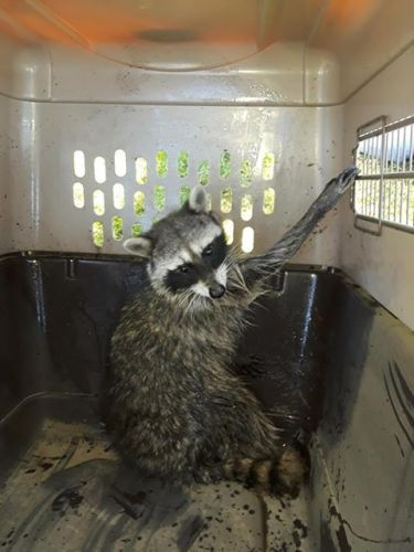 Raccoon rescued from storm drain at Sacramento cemetery