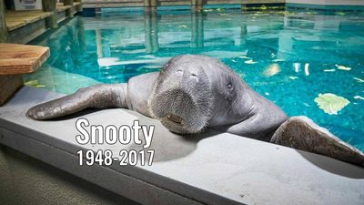 Petition: Replace Confederate monument with statue of Snooty the manatee
