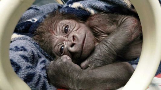 Boston zoo welcomes adorable baby gorilla