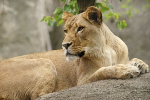 Nobody Knows Why a Lioness Killed Her Longtime Mate at the Indianapolis Zoo