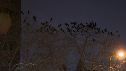 Massive Crow Populations Spotted In Twin Cities