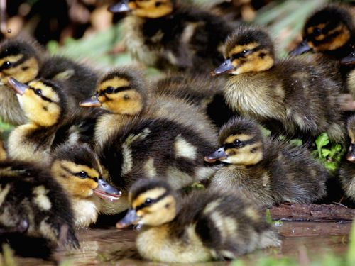 A duck adopted 10 abandoned ducklings that were released into a pond and it's the cutest thing you'll see all day