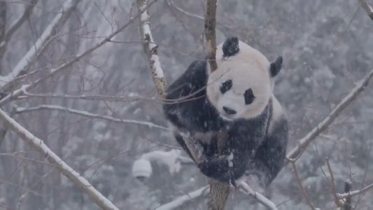 ADORABLE! Watch pandas enjoy playing in fresh snow