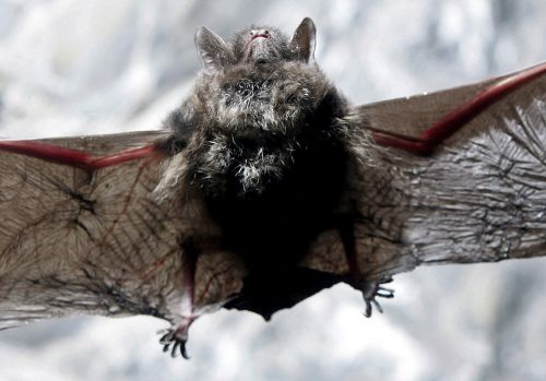 Woman wakes up to rabid bat on arm