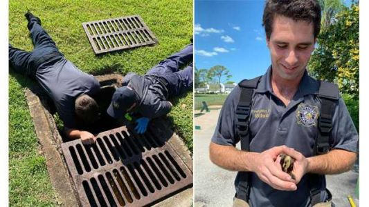8 ducklings rescued from drain at golf course, returned to mother