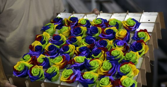 Preserved roses help boost Ecuador's Valentine's Day sales