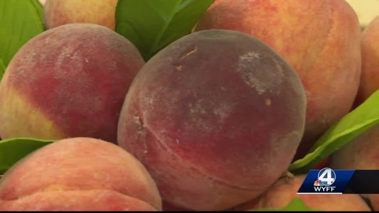 Gaffney celebrates best peach crop in a decade