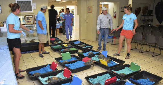 Cold-stunned turtles flown from New England to Florida Keys