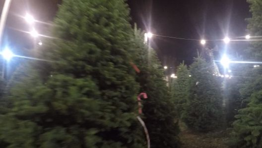 Why Christmas trees are more expensive this year